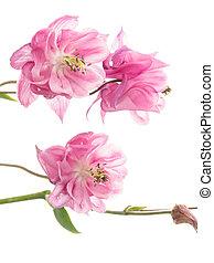 Delicate pink Aquilegia - Beautiful pink flowers Aquilegia...