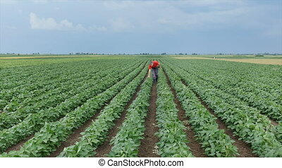 Farmer in soybean plant field - Farmer inspect quality of...
