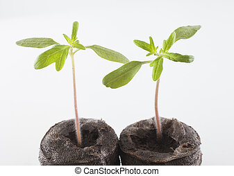 Cherokee purple seedlings - Two heritage variety tomato...