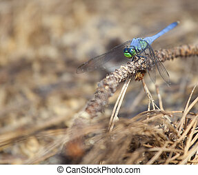 Small dragonfly - Blue dragonfly on wood with pine needles...