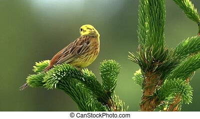 yellowhammer Emberiza citrinella