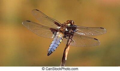 blue dragonfly at a lake