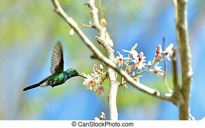 Flying Cuban Emerald Hummingbird Chlorostilbon ricordii -...