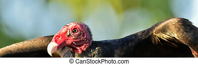 Portrait of a Turkey Vulture (Cathartes aura)