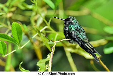 esmeralda, cubano,  ricordii),  (chlorostilbon, Colibrí