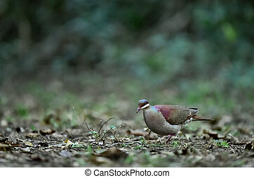 Key West Quail-dove Geotrygon chrysia adult, standing on...