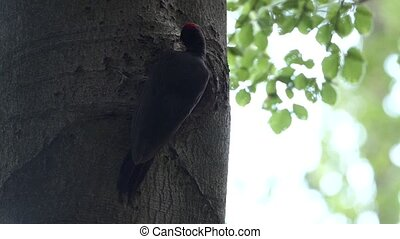 black woodpecker feeding its young in tree
