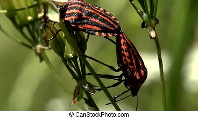 sex of red and black striped bug