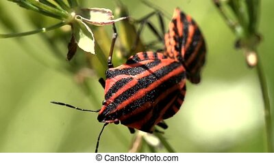 sex of red and black striped bug - sex of red and black...