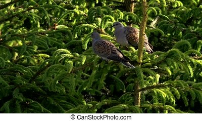 turtledove - genus Streptopelia - sitting on a tree