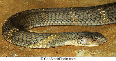 koenig, Kobra, schlange