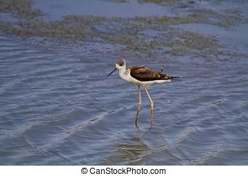 black-winged stilt,Himantopus himantopus - black-winged...
