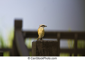 brown shrike,Lanius cristatus - brown shrike stand on...