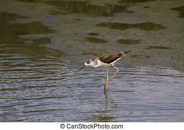 black-winged stilt looking for food,Himantopus himantopus -...
