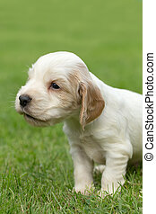 Looking English Cocker Spaniel puppy, 24 days old outdoor on...