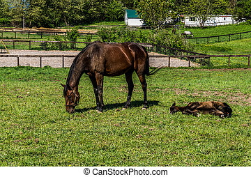 Mare Grazing and Filly Laying Down - Mare Grazing and Filly...