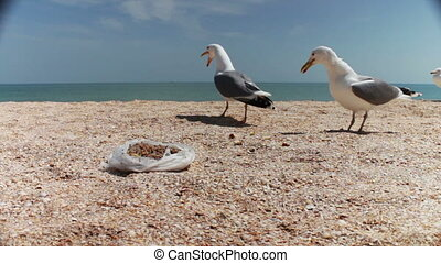 Gulls on the beach flock together for food, shouting at each...