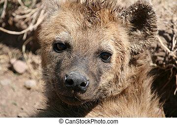 Hyena - Ngorongoro Crater, Tanzania, Africa - Ngorongoro...
