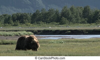 Grizzly Bear Ursus arctos horribilis walking around eating...