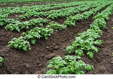 Potato beds