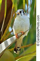 American Kestrel (Falco sparverius sparveroides) (Light...