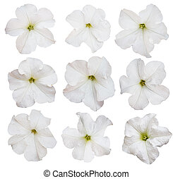 petunia flowers collection isolated over white background