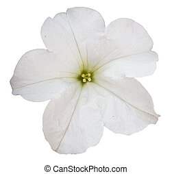 white petunia flower isolated over white background