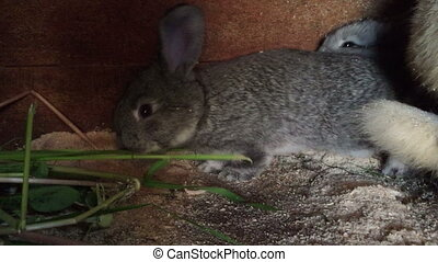 Two rabbit - Two small gray rabbit eating grass