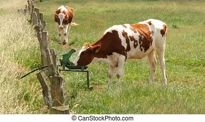 cow drinking at self service trough - Cow drinking at a self...