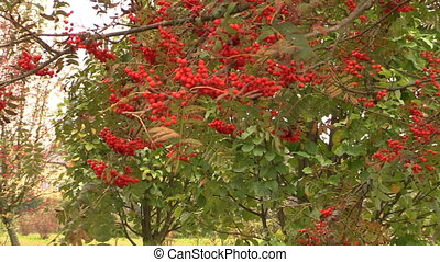 rowam tree branch berry - Rowan sorb berries tree branches...