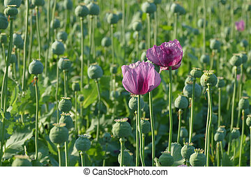 Poppy flower and green cocoons in field, spring