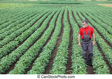 Farmer or agronomist walking in soybean field and examine...
