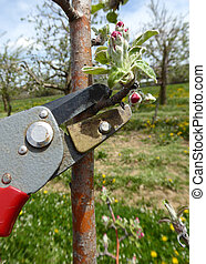Pruning of trees with secateurs in apple orchard - Picture...