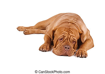 French Mastiff lying down isolated on white background