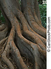 Tree roots in Sanremo, Italy