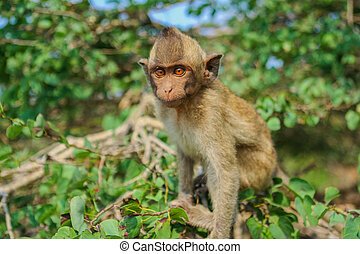 Monkey on the tree - Monkey Crab-eating macaque seats on the...