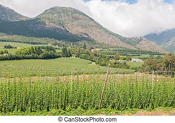 Hops next to the road above the Outeniqua Pass - Hops...