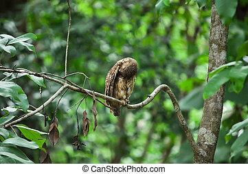 asiático, prohibido, Owlet,