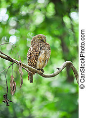 Asian Barred Owlet - The face has white eyebrows that extend...