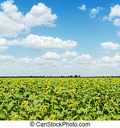 field with sunflower under blue sky with clouds