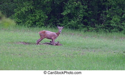 Young roe buck in the forest glade