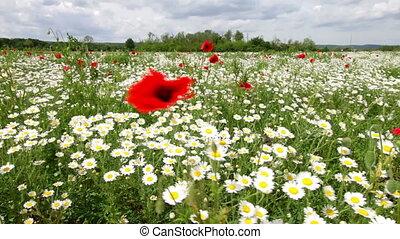 Daisy field in the wind