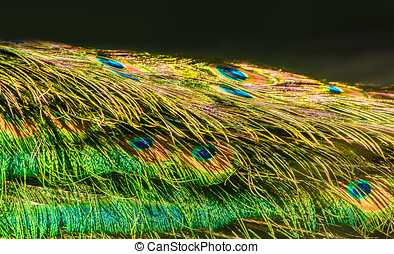 peafowl tail closeup