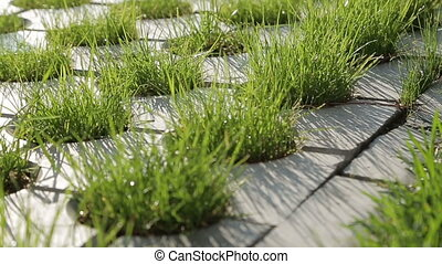 Grass between stones close-up. Summer morning.