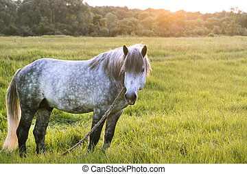 Grey horse stands on the field, looks aside, the sun sets,...