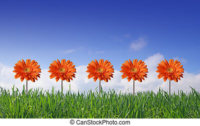 five gerbers on green grass and blue sky background -...