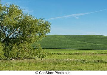 Rolling hills - Fields of wheat on rolling hills, Steptoe,...
