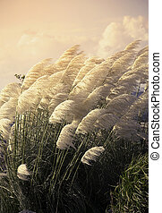 Pampas grass in the wind during sunset.