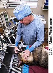 Veterinarian with dog pre-operation - Veterinarian with dog...