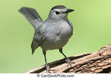 Gray Catbird Dumetella carolinensis on a log - Gray Catbird...